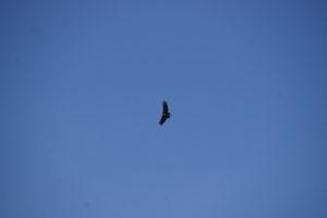 Vol d'un Condor dans le canyon colca