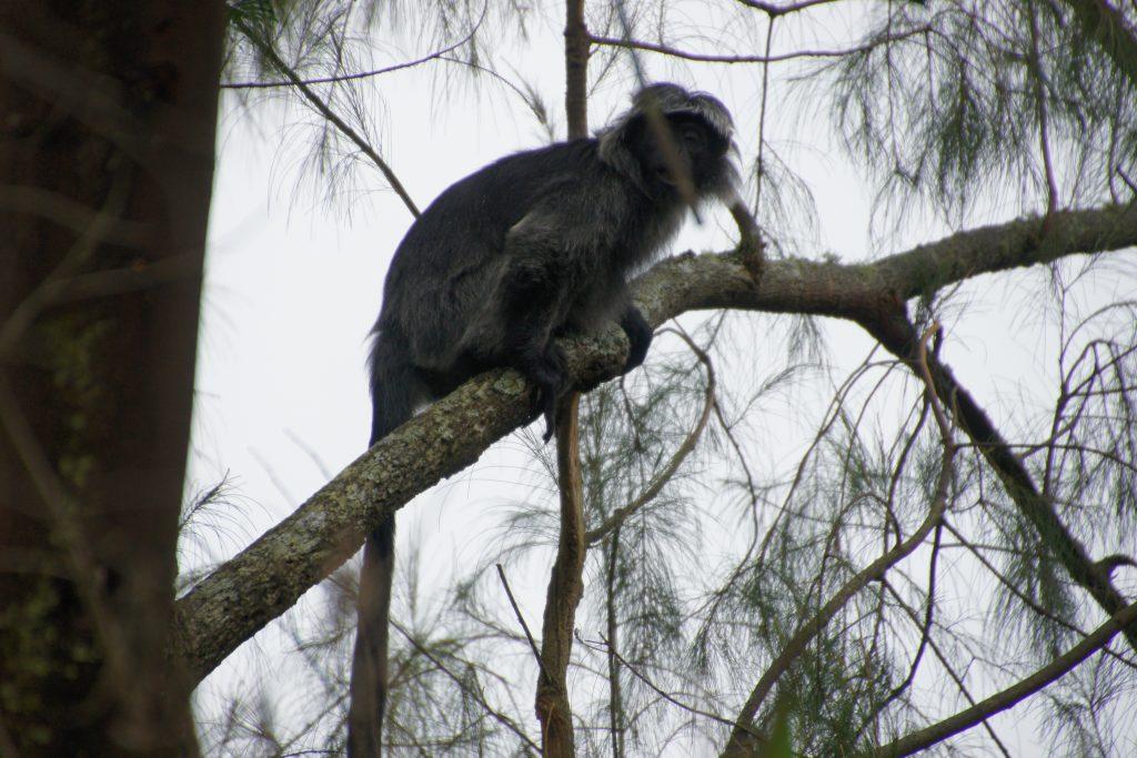 Sur le chemin qui monte au cratère du volcan IJEN, famille de singes dans leur milieu naturel