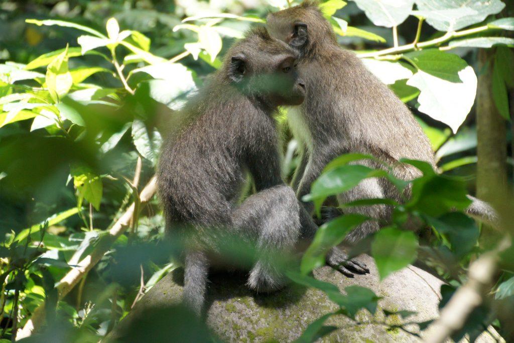 Visite de la Forêt des singes à UBUD