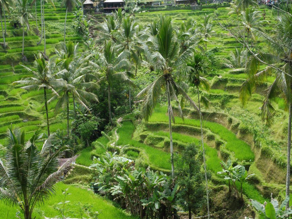Paysage de rizières en terraces au village de Rendang à BALI