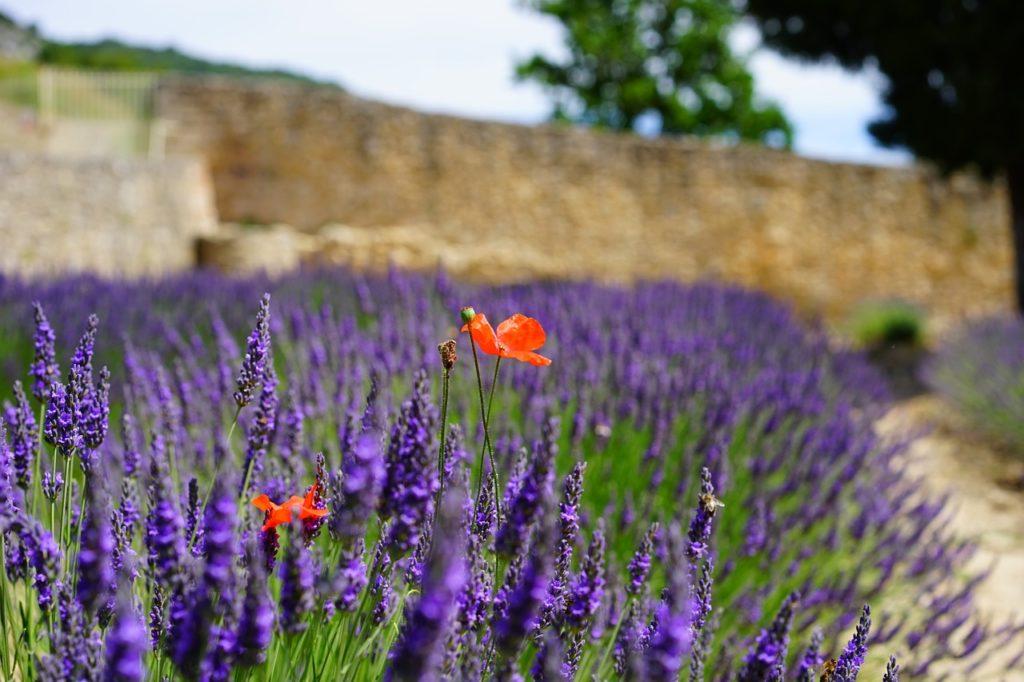 Que voir en Ardèche - champs de lavende