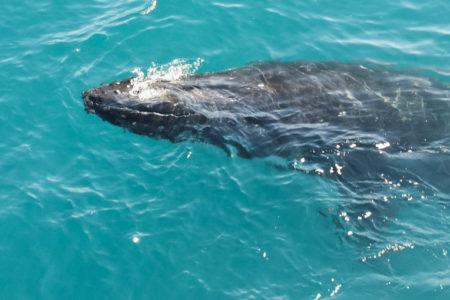 Quelle période pour voir les baleines à la Réunion et où aller pour les voir