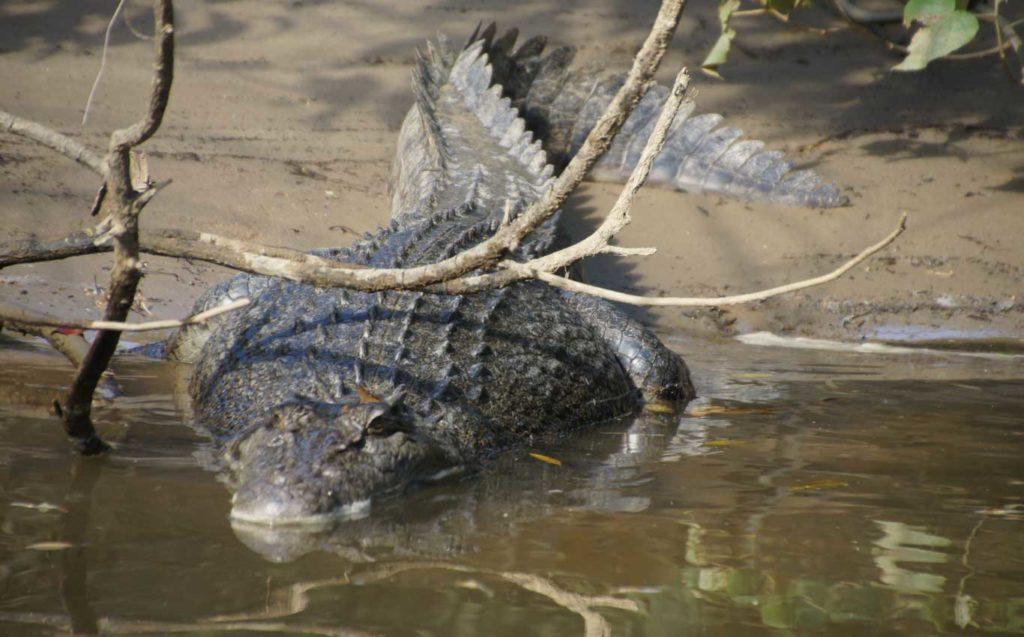 Road trip en Australia Queensland -  Crocodilos en la Daintree River