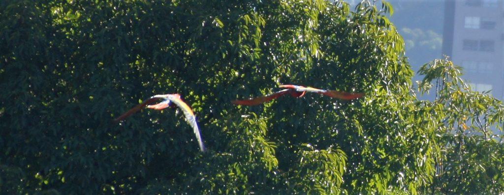 Vol de perroquets au dessus de Medellin