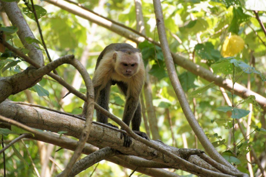 singe dans le parc Tayrona