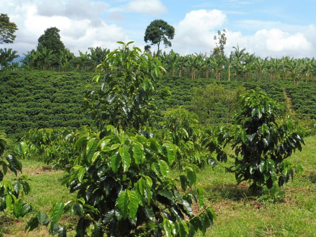 plants de café - FINCA DE CAFE CASA VIEJA