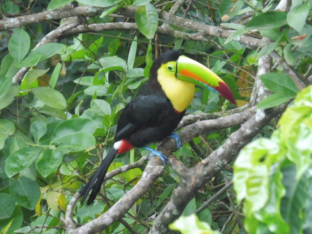 Finca la Candelaria à Minca et son toukan