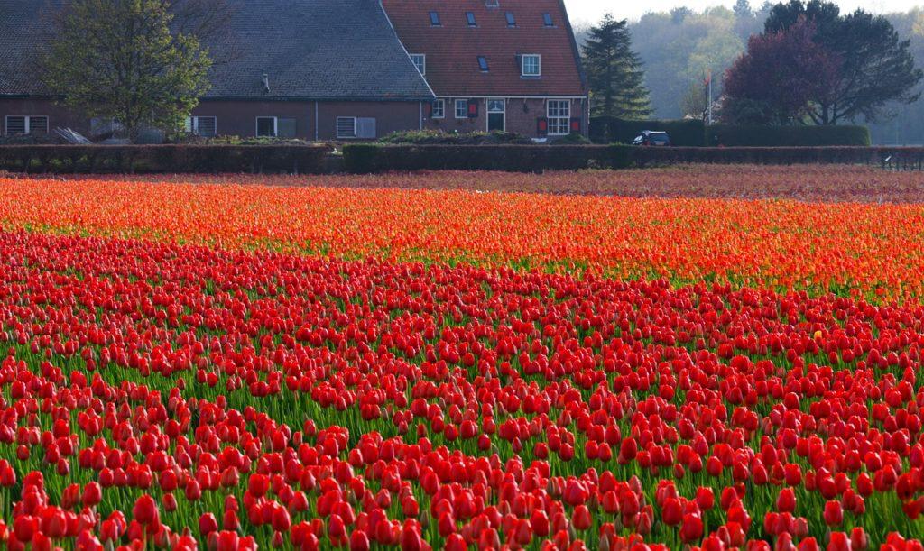 Amsterdam en 4 jours - visite champs de tulipes