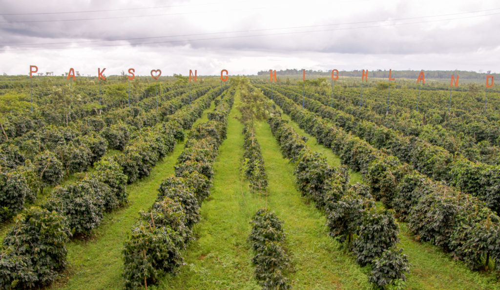 Coffee plantation in the Bolavens plateau