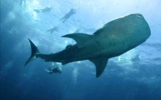 Où aller aux Maldives pour nager avec requins baleines et les raies Manta